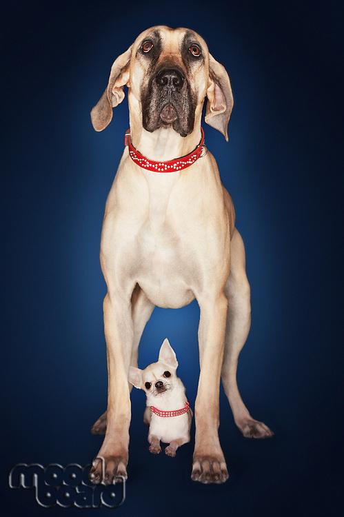 Brazilian mastiff (Fila brasileiro) standing over Chihuahua front view