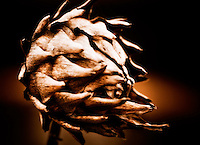 A dried artichoke that survived the winter.