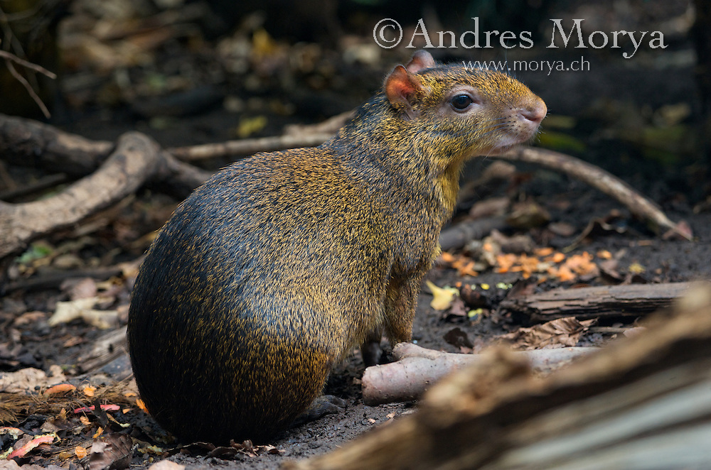 Central American Agouti (Dasyprocta punctata), Costa Rica. Is an agouti species from the Dasyproctidae family. Agoutis are terrestrial and cursorial which means ground dwelling and built for running with speed. They walk, trot or gallop on their toes, and can jump up more than six feet from a standing position. They prefer tropical, terrestrial habitats. They also build small caves around sources of water. When their territory is challenged, males often get into fights Image by Andres Morya