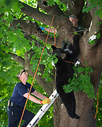Hanover Area Fire and Rescue captain Bryan Spickler works with a PA State Game Warden to retrieve a sedated male one-year-old black bear from a tree on the first block of Ruth Ave, Friday, May 25, 2018 in Hanover Borough. The bear was removed from the tree without incident and will be taken to a forested area to be released, according to the Game Warden on scene.
