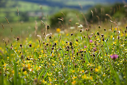 Yellow rattle, Red Clover and Salad Burnet in a field in Yorkshire. Rhinanthus minor, Sanguisorba minor