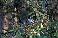 This tiny little songbird is constantly on the move. At four and a quarter inches in length, this fast-moving blue-gray gnatcatcher is very common in eastern North American and parts of the Southwest where it forages in high trees for insects. Unusual for what we hear about wildlife and the state of habitat destruction these days, the total number of blue-gray gnatcatchers are on the rise. Not only are they becoming more numerous, they are also extending their range into places they've never been seen before. I was lucky enough to catch this one during it's 2-3 second rest in Fort Myers, Florida.