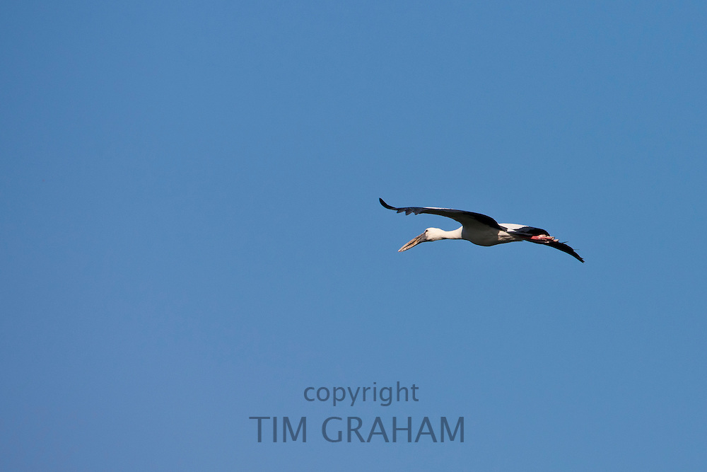 Indian Stork bird, in the sky above Lake Pichola in first light of early morning, Udaipur, Rajasthan, India