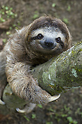 Brown-throated Three-toed Sloth <br /> Bradypus variegatus<br /> Young male clmbing tree<br /> Aviarios Sloth Sanctuary, Costa Rica<br /> *Captive - Rescued and in rehabilitation program