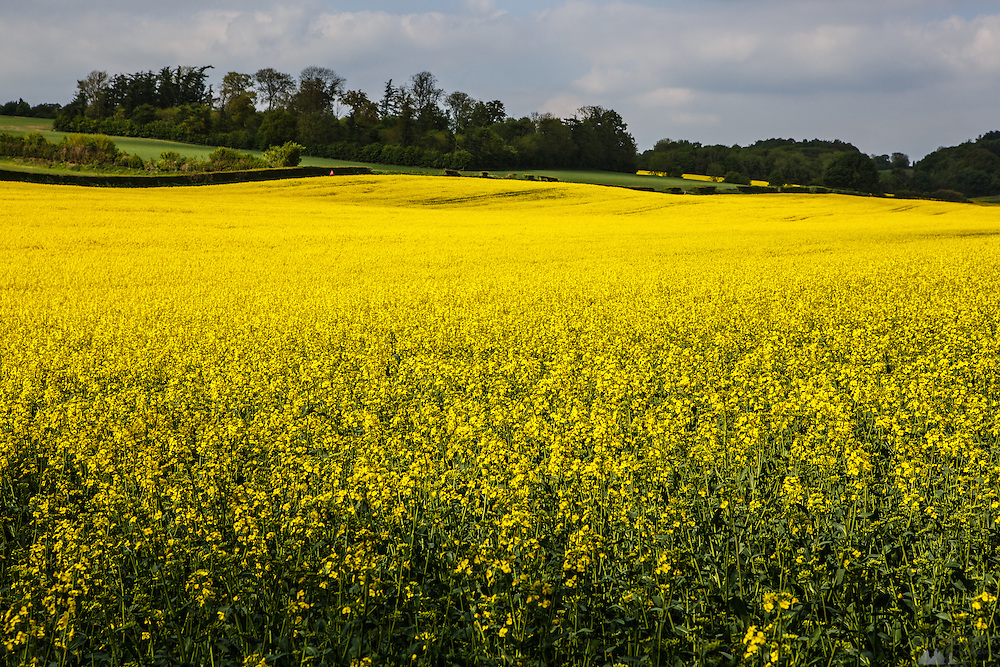 Beautiful rapeseed fields in the Hertfordshire countryside in early summer