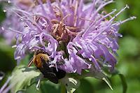 Wild Bergamot (Mondrda fistulosa), Houston County, Texas