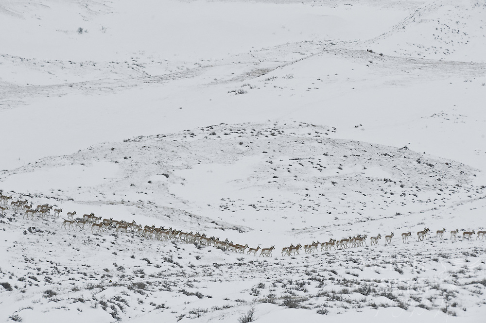 A large train of migrating Pronghorn Antelope cut across the frozen landscape of the winter Glaciated Plains.  Phillips County, Montana.