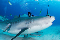 A Tiger Shark makes a close pass by a diver<br /> <br /> Shot in Bahamas