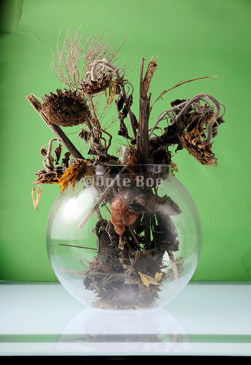 dried up dead sunflowers in a round vase with green background