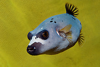 Blackspotted Puffer in Elephant Ear Sponge