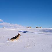 German Shepherd Dog running through winter hayfield in Pierce County, Wisconsin.