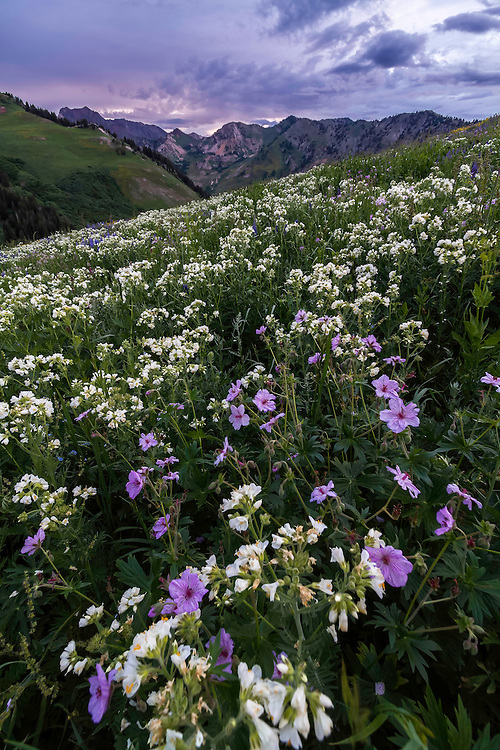 Mountain wildflowers bloom in early Summer in Utah's Little Cottonwood canyon in the Wasatch Mountains. Landscape photography like this only comes once a year.
