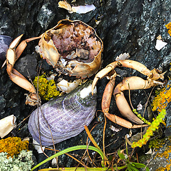 Tidal Detail including Crab Shell and Mussel Shell, Nautilus Island, Castine, Maine, US
