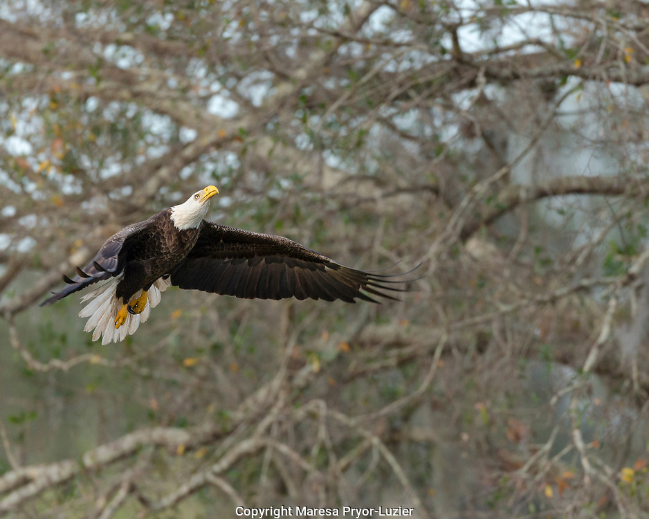 Bald Eagle flying up into dead pine tree, Haliaeetus leucocephalus, Ft.Myers, Florida