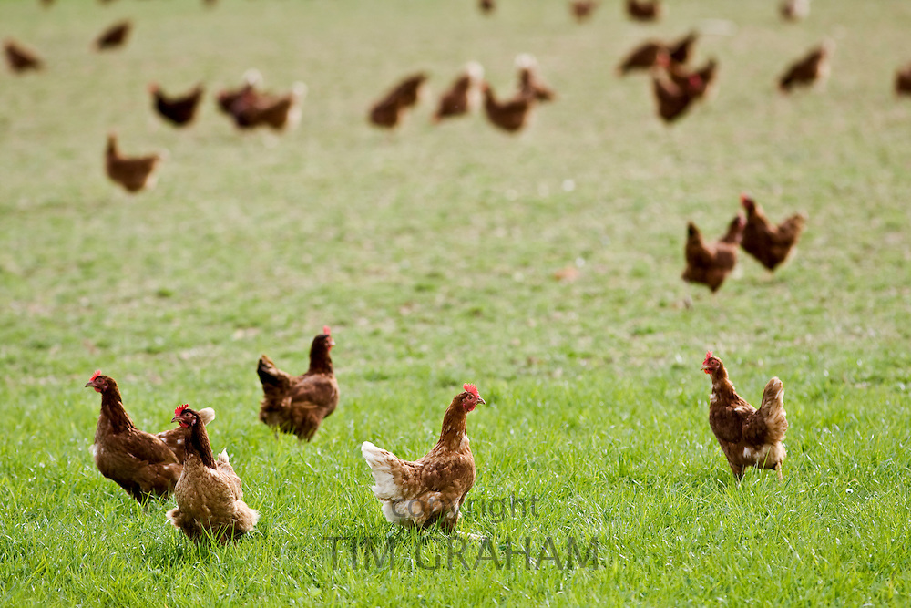 Free-range chickens and hens, Stow On The Wold, Oxfordshire, United Kingdom