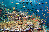 Teeming Hard Corals and Anthias<br /> <br /> Shot in Indonesia