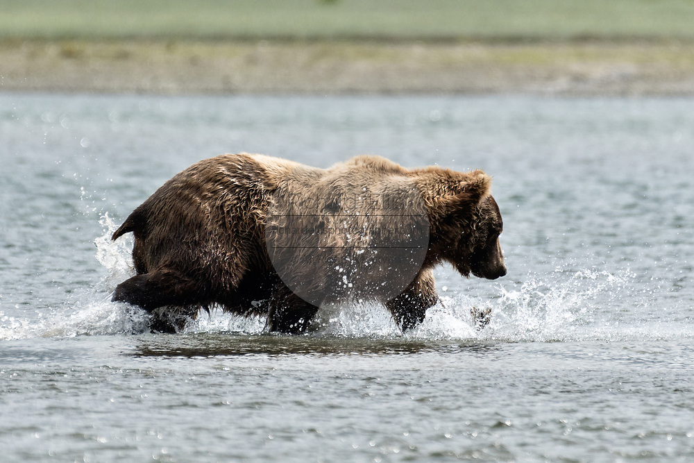 A grizzly bear boar chases chum salmon in the lower lagoon at the McNeil River State Game Sanctuary on the Kenai Peninsula, Alaska. The remote site is accessed only with a special permit and is the world's largest seasonal population of brown bears.