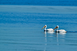 American White Pelican at Emiquon National Wildlife Refuge in Fulton County Illinois