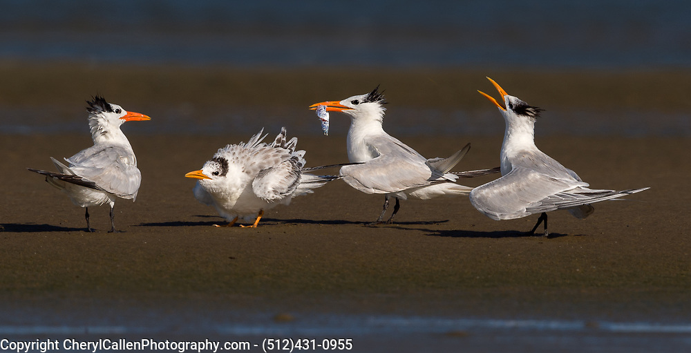 The feeding frenzy of parent Royal terns and the chicks