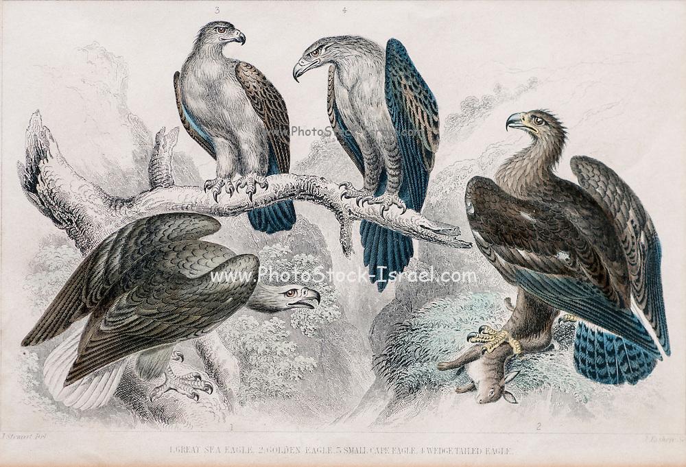 1866 Goldsmith eagle birds print No.2 (Great Sea Eagle, Golden Eagle, Small Cape Eagle, Wedge Tail Eagle) Hand coloured engraving
