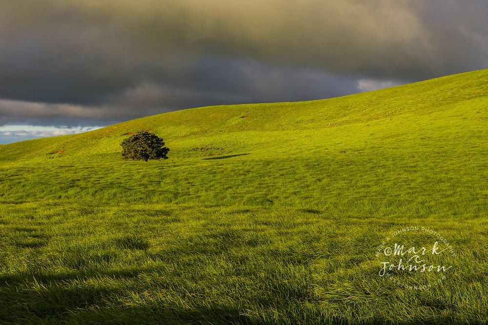A lone tree on lush pasture land, Waimea, Big Island, Hawaii
