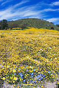 California Goldfields (Lasthenia californica), Coastal Tidy Tips (Layia platyglossa), California Dandelion (Malacothrix californica), and Baby Blue Eyes (Nemophila menziesii) along Shell Creek, San Luis Obispo County, California