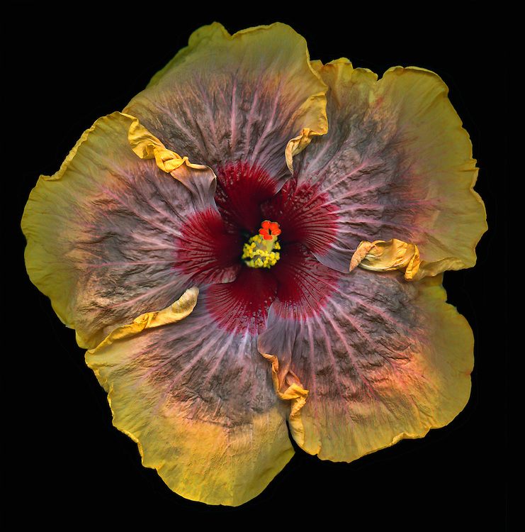 "Tropical hibiscus ""Lyrical"" / #VAR326"