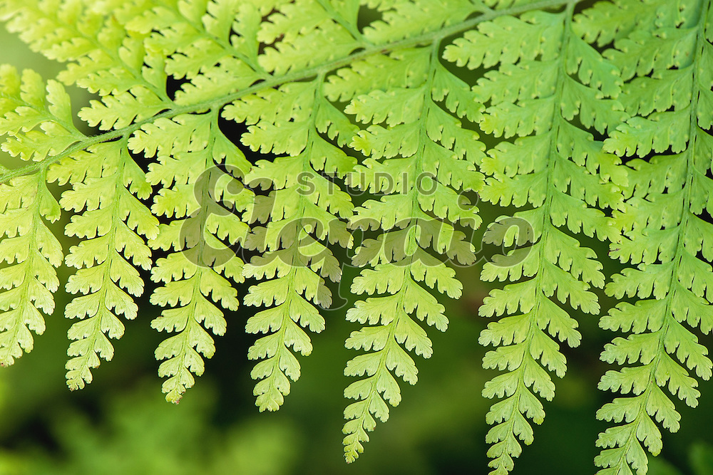 Fronds of palai, or palapalai (Microlepia strigosa), an indigenous fern in Hawaii.