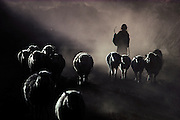 ECUADOR: Chimborazo Province.A Quechua Indian girl herds her sheep back home at sunset