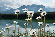 Daisies bloom at Herbert Lake, Banff National Park, Alberta, in the Canadian Rocky Mountains. The aster, daisy, or sunflower family (Asteraceae or Compositae) is the largest family of vascular plants. Banff is part of the big Canadian Rocky Mountain Parks World Heritage Site declared by UNESCO in 1984.