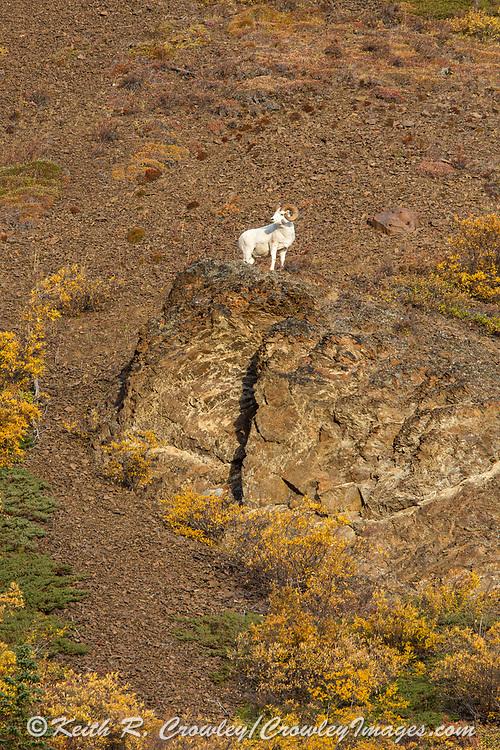 Mature Dall Sheep ram in autumn mountain habitat