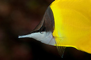 Forcipiger flavissimus (Longnose butterflyfish)