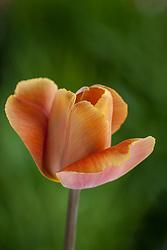 Tulipa 'Malibu'