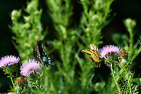 Tiger and Black Swallowtail Butterfliies on Thistle Blooms. Summer Nature in New Jersey. Image taken with a Nikon 1 V1 +  FT1 + 70-30 mm VR lens (ISO 400, 180 mm, f/5, 1/1000 sec) and monopod. [FOV Equivalent to ~ 490 mm on a 35 mm image sensor]..