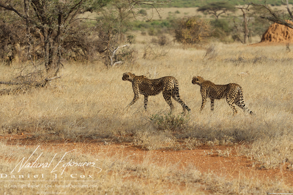 Cheetah, a mother and her older cub begin stalking a herd of grants gazelle in Samburu National Reserve, Kenya.