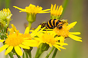 Cinnabar moth caterpillar feeding on the flower of common ragwort, surrounded by further flowers.