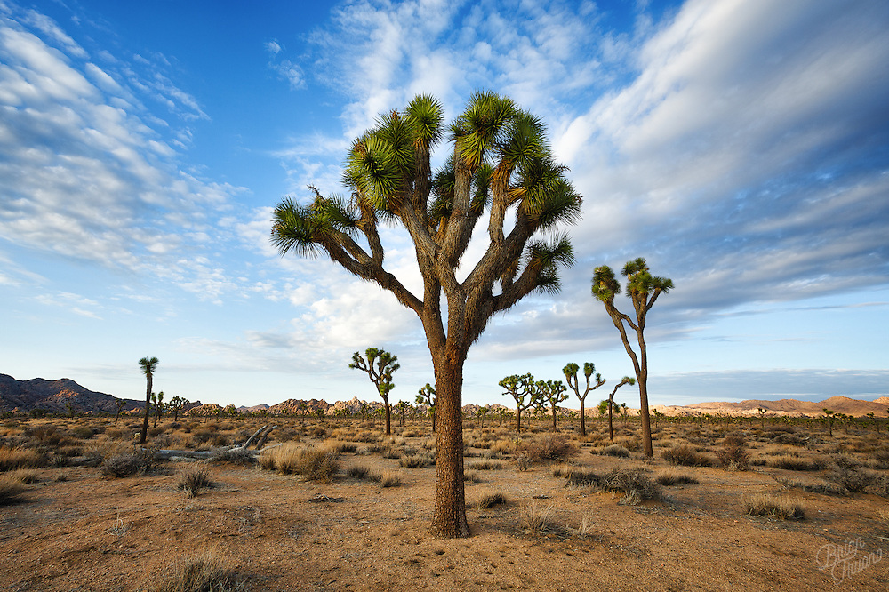 The native tribes of the southwest region of the United States found many uses for the unusual shaped Yucca plants that dotted the desert landscape. In their resourcefulness, they found that fibers of the Joshua tree worked well for sandals, belts, nets, brooms and ropes. The roots were used to make colorful dyes and in creating baskets. The sap could be made into soaps. And there were many medicinal purposes from the extract as well. They used it to treat ailments like joint pain, arthritis, inflammation, skin lesions, gout, hypertension; even asthma or headaches. Quite amazing what uses it held by applying a little trial and error over the centuries.