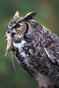 A great horned owl (Bubo virginianus) with a mouse. Western Oregon.