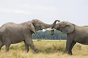 African Elephant<br /> Loxodonta africana<br /> Bulls fighting<br /> Masai Mara Triangle, Kenya