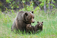 Grizzly bear mother with cubs, Banff National Park