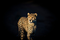 Cheetah in late afternoon light, Munyawana Conservancy, KwaZulu Natal, South Africa