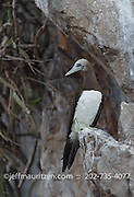 A brown booby perches on a cliff on Bona Island in Panama Bay.