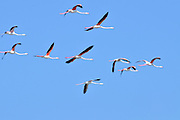 A flock of Greater Flamingo (Phoenicopterus roseus) in flight. Photographed at Atlit, Coastal Plains, Israel in December