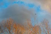 The setting sun bathes trees along the Sammamish River in Bothell, Washington, in golden light as an American crow (Corvus brachyrhynchos) flies overhead.