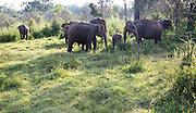 Wild elephants in Hurulu Eco Park biosphere reserve, Habarana, Anuradhapura District, Sri Lanka, Asia