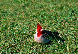 Red-crested Cardinal (Paroaria coronata), Lualoa Park, Oahu, Hawaii, US