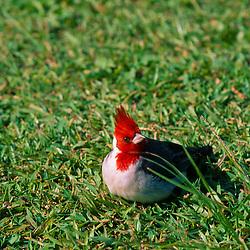 Red-crested Cardinal (Paroaria coronata), Lualoa Park, Oahu, Hawaii, US
