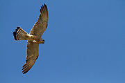 Common kestrel (Falco tinnunculus) in flight with a blue sky background . This bird of prey is a member of the falcon (Falconidae) family. It is widespread in Europe, Asia, and Africa, and is sometimes found on the east coast of North America. Photographed in Israel in May