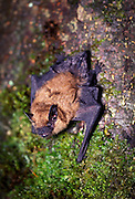 A Big Brown Bat (Eptesicus fuscus) roosting on tree bark. Forest park, NE Oregon. Summer 1991