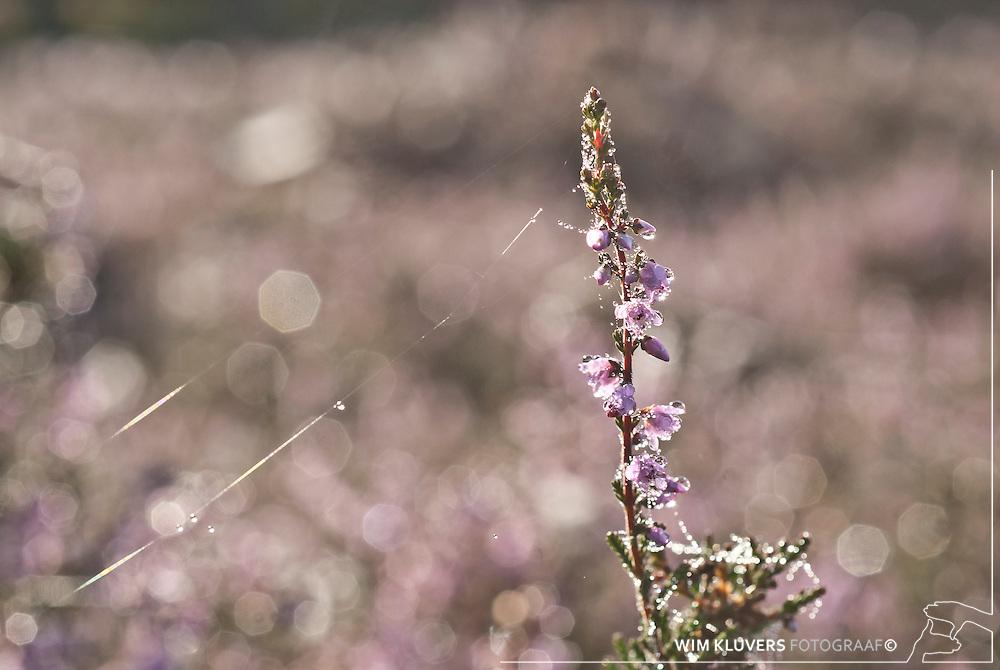 WK20100905-012.NEF.Natuur,Tafelbergheide,spinnenweb